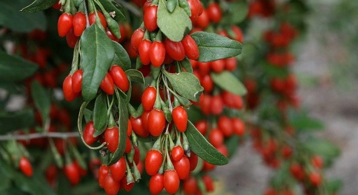 Помогают ли ягоды годжи для похудения